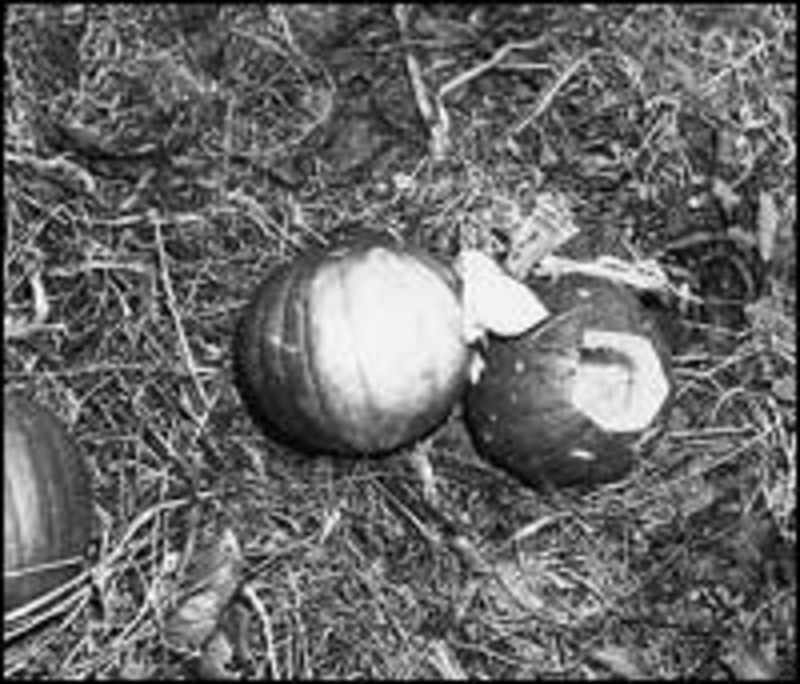 pumpkin papers Interior secretary donald p hodel today designated as a national historic landmark the maryland farm where the pumpkin papers that led to the conviction of alger hiss were hiddenwhittaker.