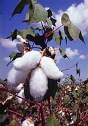 transgenic bt cotton 1 all bt cotton plants contain one or more foreign genes derived from the soil-dwelling bacterium, bacillus thuringiensis thus, they are transgenic plants the insertion of the genes from b thuringiensis.